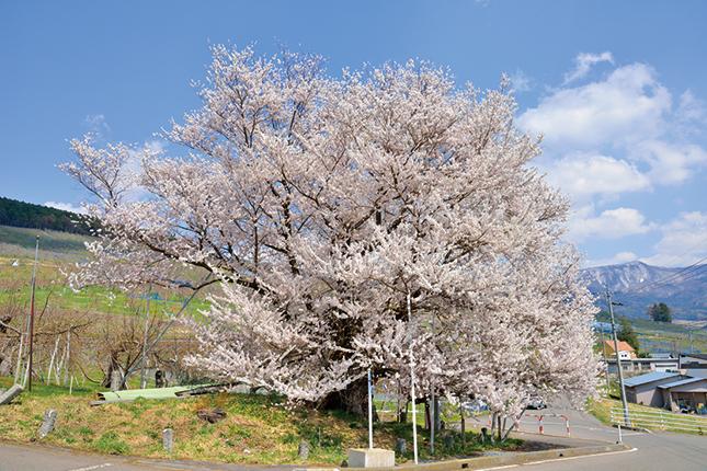 宇木の千歳桜